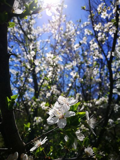 Bulgarian spring🌼 Flower White Color Fragility Blossom Branch Tree Nature No People Springtime Day Outdoors Beauty In Nature Close-up Freshness Flower Head Animal Themes First Eyeem Photo
