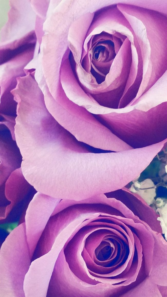 Bucks County Pennsylvania Purple Roses Deep Purple Delicate Petals Patterns In Nature Flowerporn Flower Collection My Quirky Style
