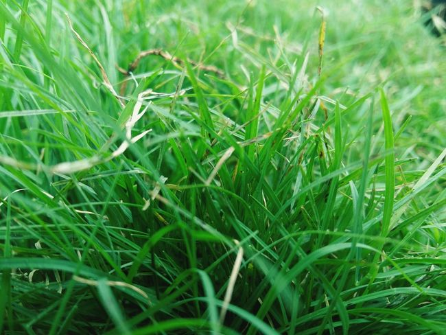 The smell of the green grass feels so amazing ❤ Taking Photos Simply Beautiful. Grass Green Color Growth Nature Outdoors Freshness Close-up Leisure Activity Check This Out Mobile Photography Great Atmosphere Go Green Feel Green Nature Lover