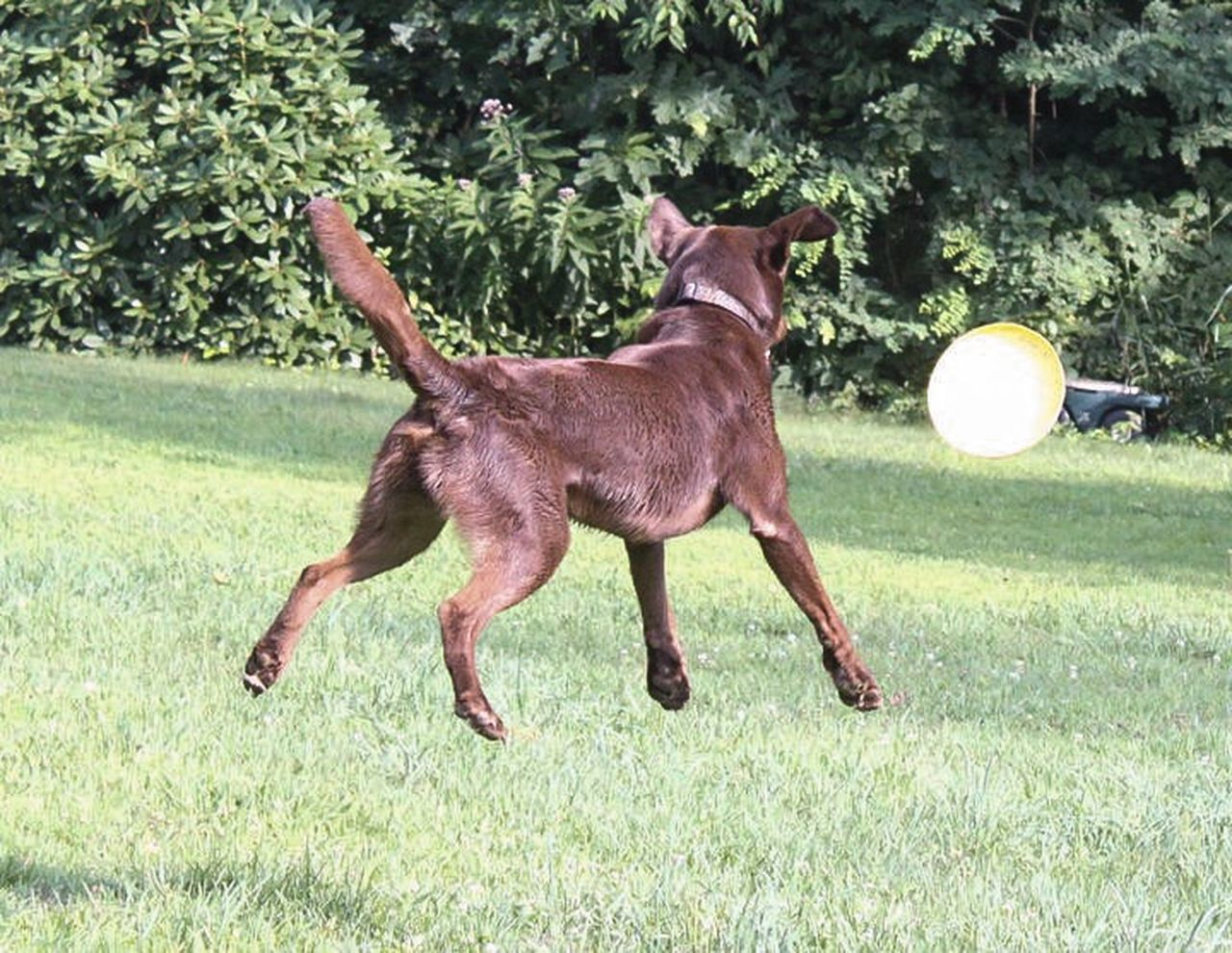 Summer Dogs Chocolate Labrador Retriever Frisbee Playingcatch
