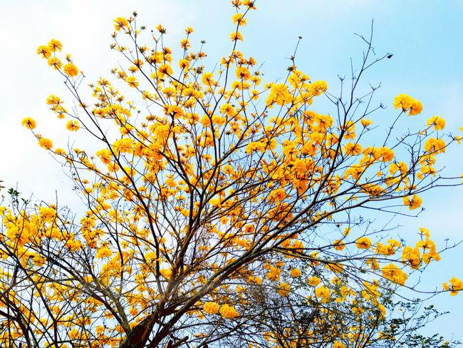 Yellow Flower Trees Flowers