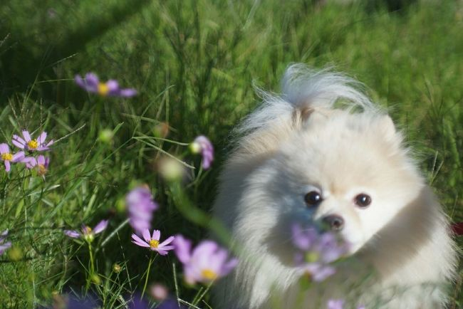 Nature ポメラニアン Mylovelydog