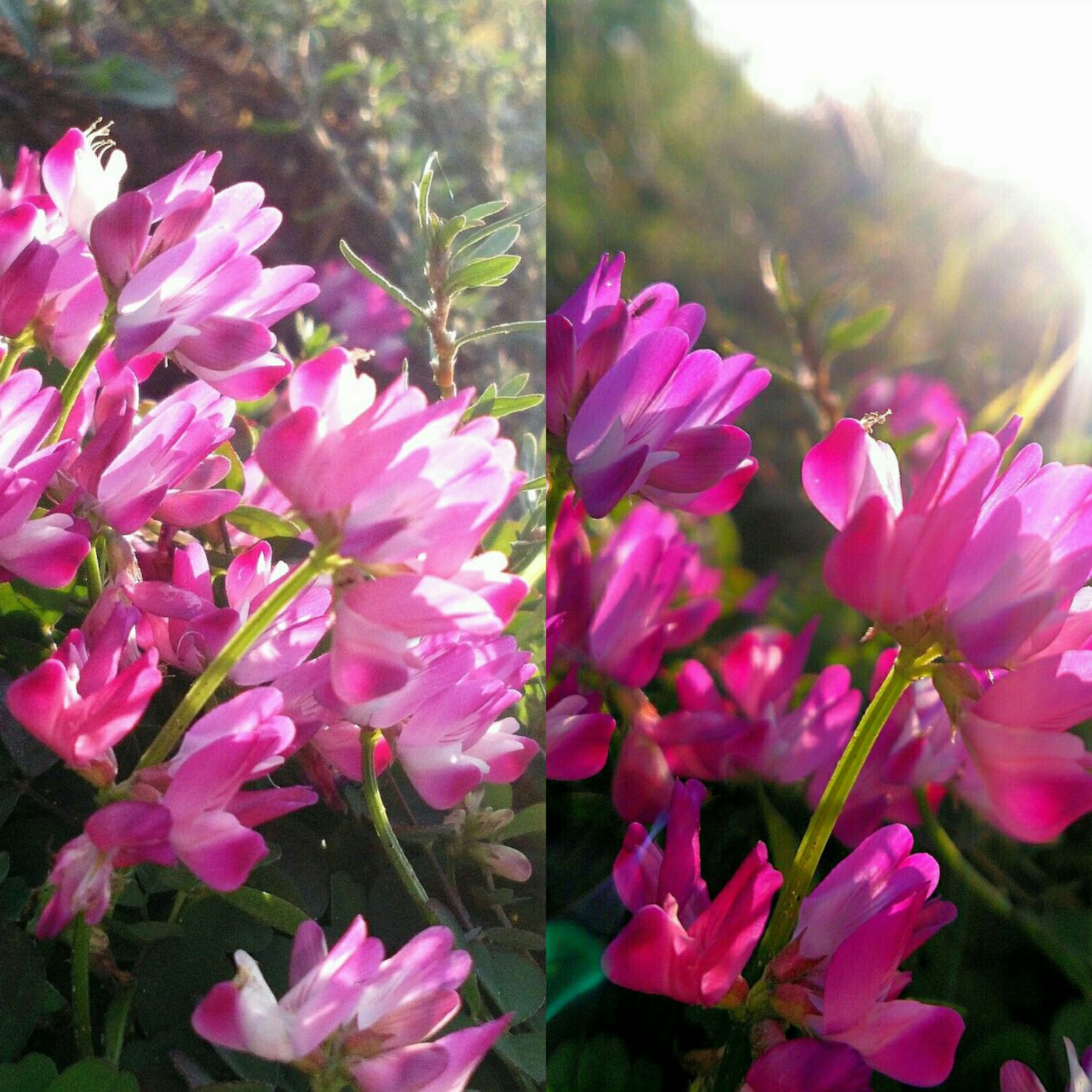 flower, growth, fragility, pink color, plant, nature, beauty in nature, petal, no people, freshness, insect, day, close-up, outdoors, flower head, blooming, animal themes