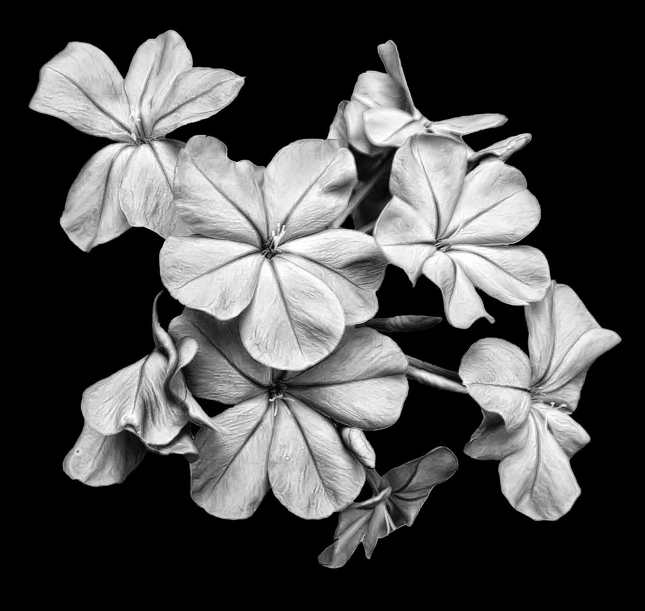 Blue Plumbago Flower Blossom Bloom Floral Black & White