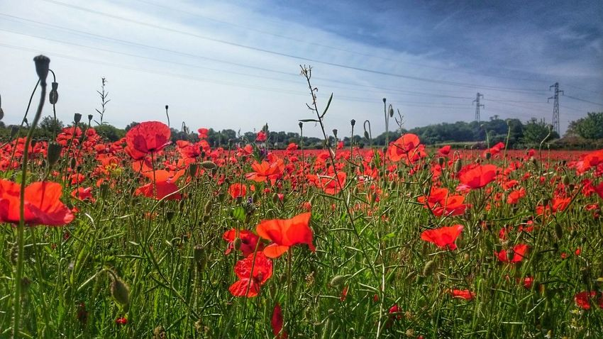 Check This Out Coquelicot Fleurs Flowers Flower Collection Hana Champs De Coquelicots Rouge Red Red Flowers