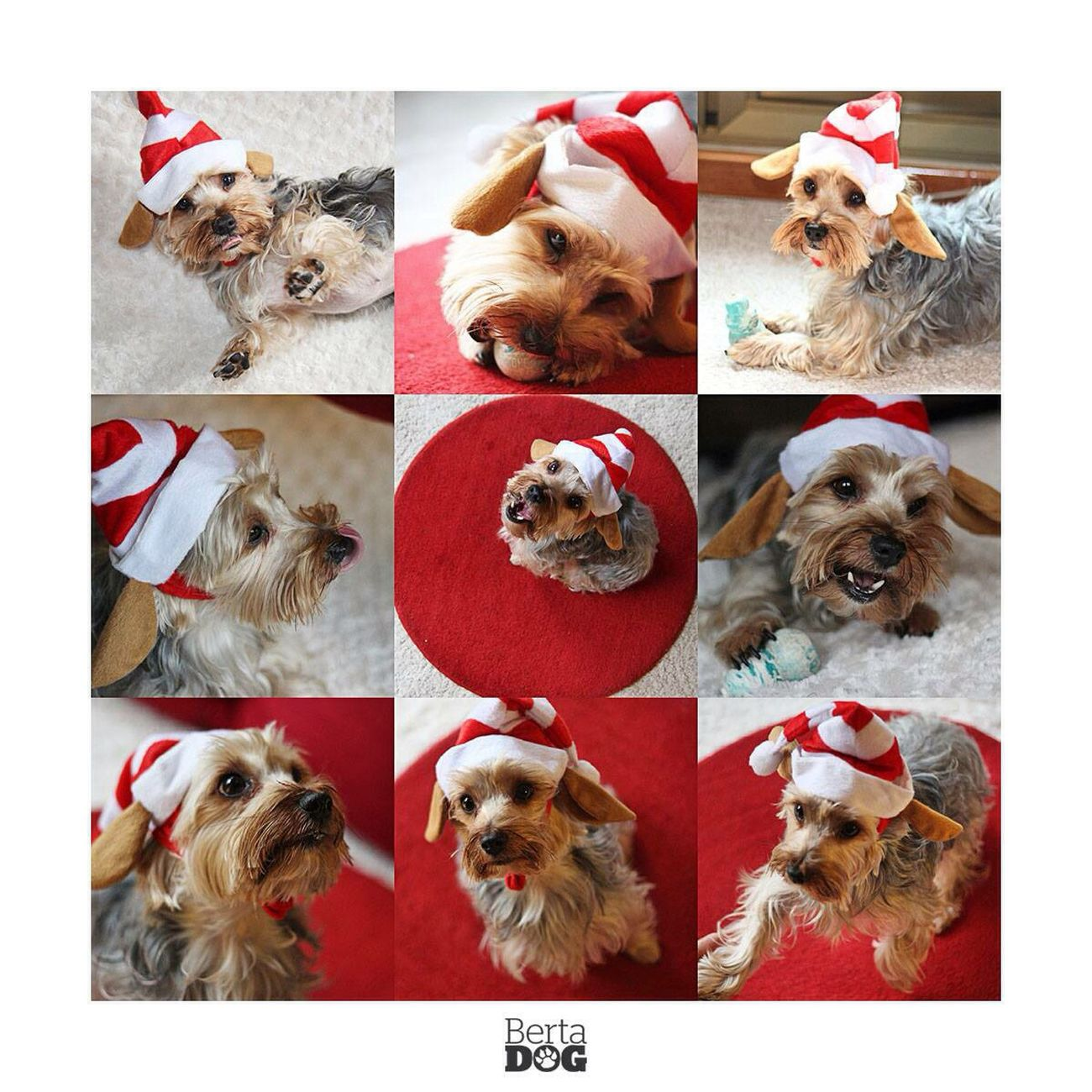 Christmas Navidad Yorkshire Dogs