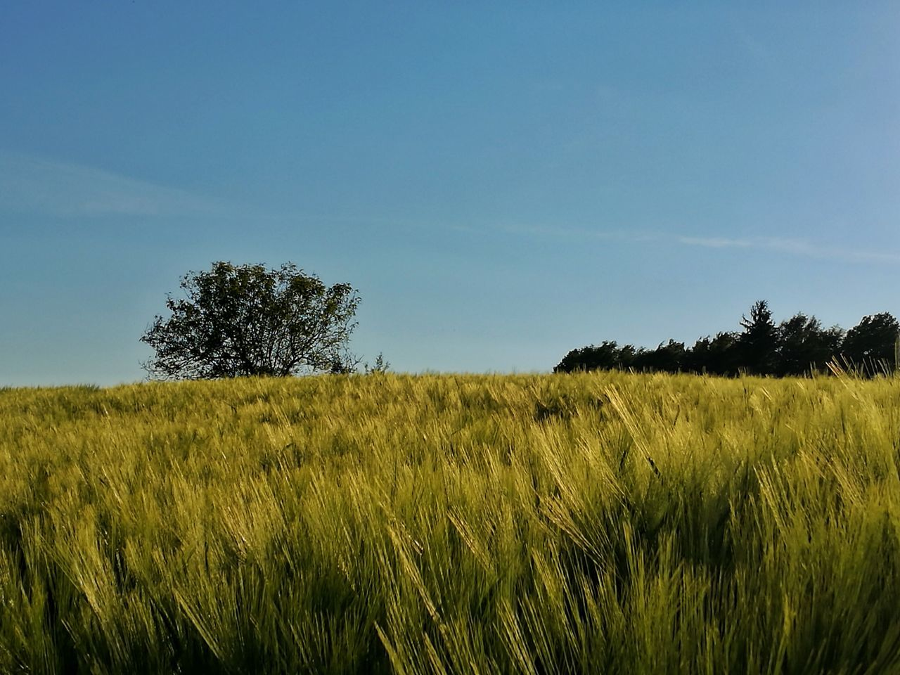 Field Agriculture Crop  Nature Rural Scene Tree Sky Outdoors Beauty In Nature Growth Landscape Grass Green Color Day Cloud - Sky No People Summer Cereal Plant Plant Scenics Wheat Field Beauty In Nature Tranquil Scene Landscape_photography EyeEm Best Shots