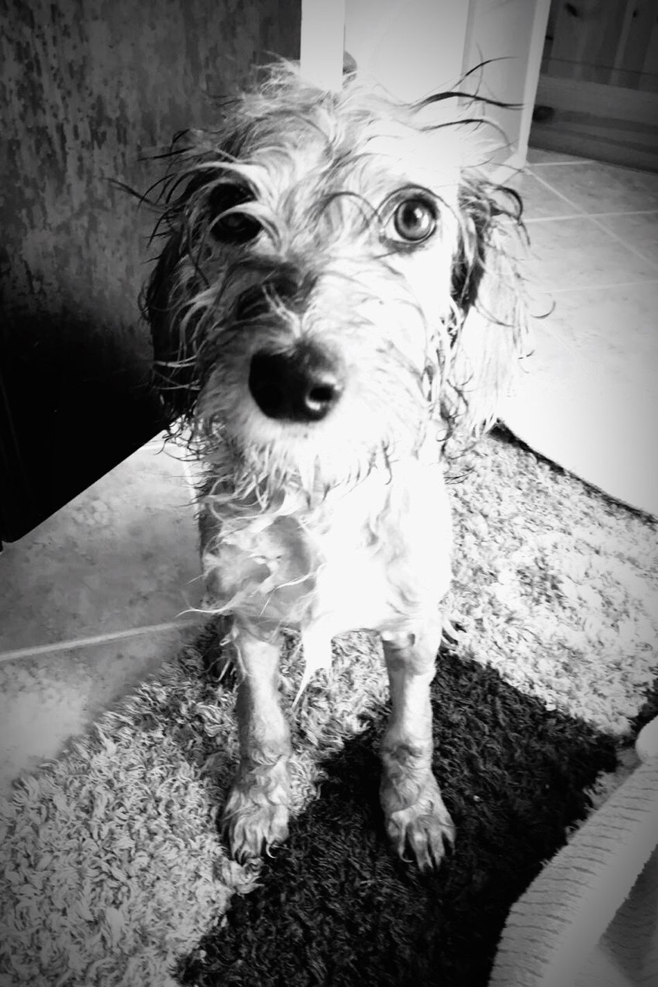 Wet Hair Wet Dog Wet Dog One Animal Pets Looking At Camera Animal Themes Portrait Domestic Animals No People Close-up Not Fair  Good Looking Hund Hundeblick Nasser Hund Take A Shower Shower Shower Time Bath Time Bath Bathroom Indoors