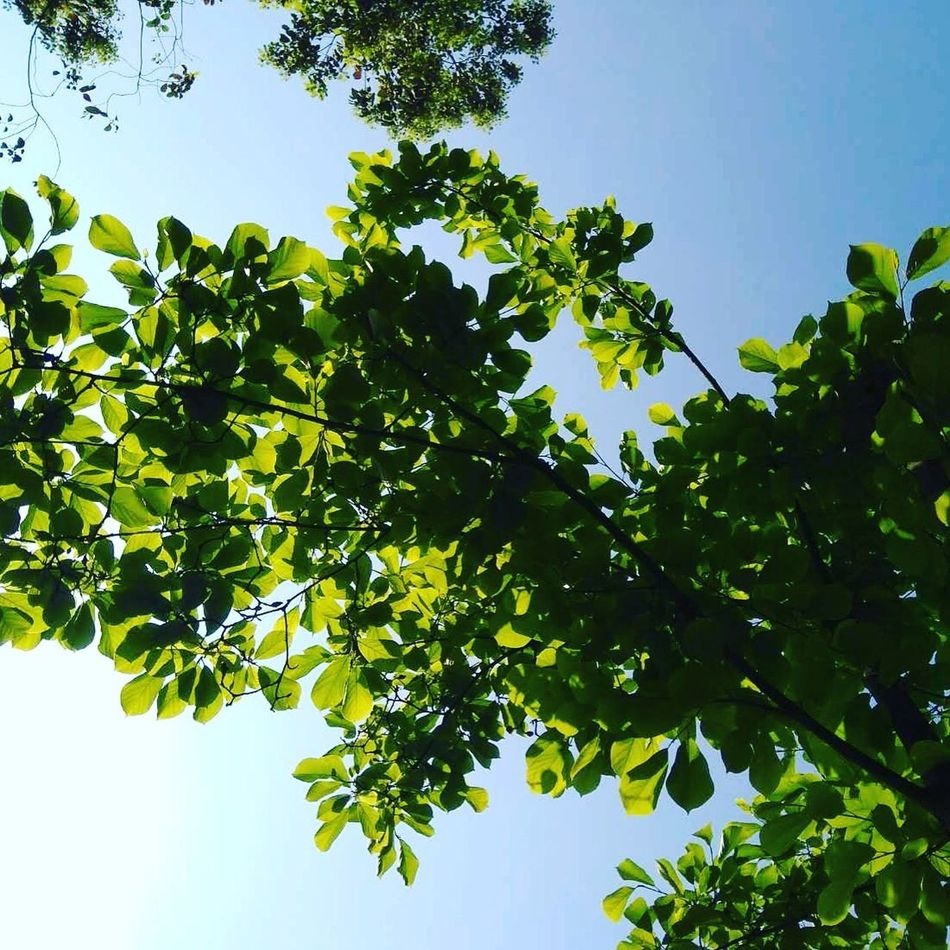 Tree Nature Leaf Green Color Beauty In Nature Freshness No People Growth Branch Sky Low Angle View Plant Clear Sky Outdoors Food ❤️