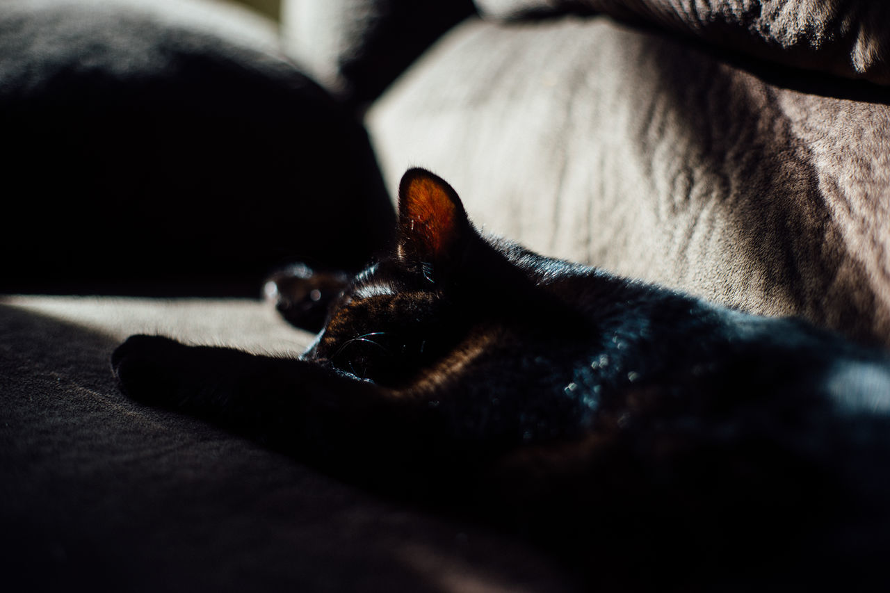 one animal, animal themes, domestic animals, pets, mammal, no people, domestic cat, selective focus, indoors, lying down, close-up, feline, day, nature