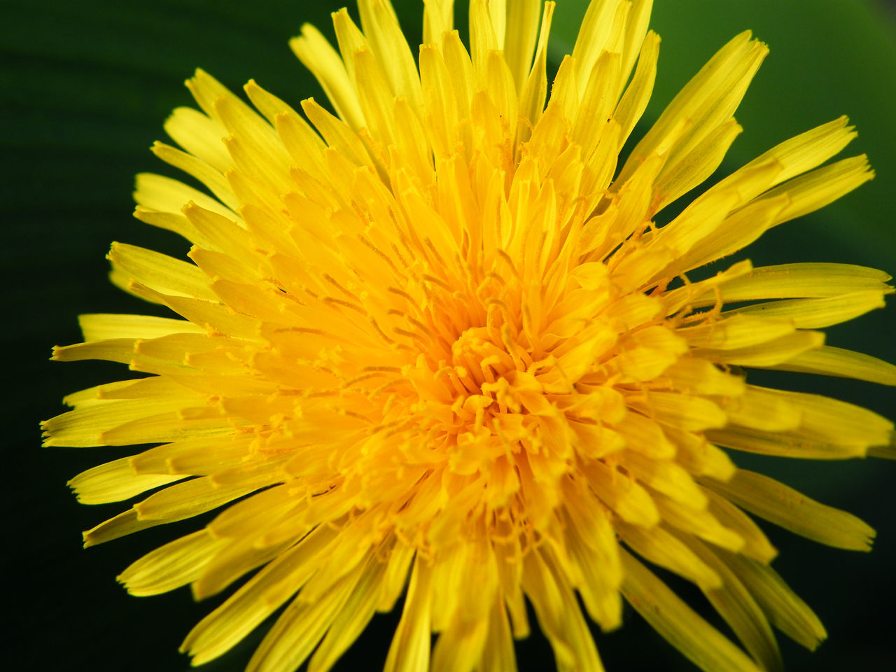flower, yellow, petal, beauty in nature, fragility, freshness, flower head, nature, close-up, no people, chrysanthemum, growth, plant, blooming, outdoors, day
