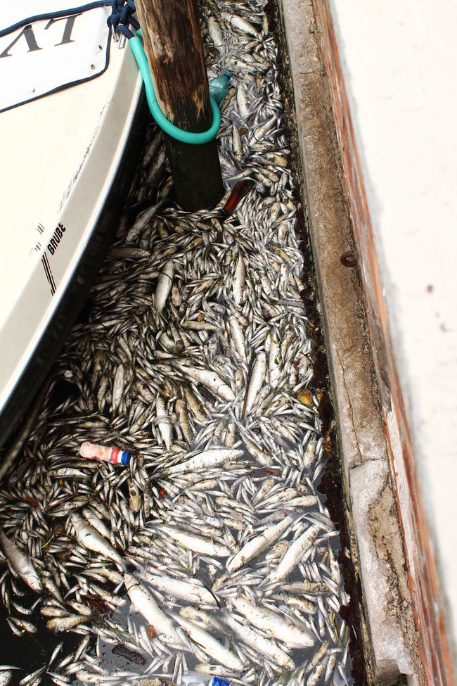Three years ago a moltitude of Fishes Died due to reason still now not Explained, a lot of Canals of Venice were Completely Covered by fish Bodies... Pollution? Ice Age Suspect Suspicious Strange Anomaly Death Climate Change Dirty Stinky Boat Blocked Dead Animal Dead Dead Sea  Dead Nature Deadsea