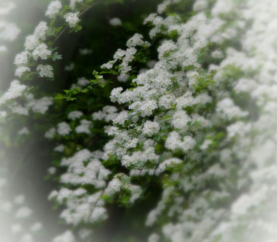 Delicate Beauty Nature Nature On Your Doorstep White Blossoms On Tree Enjoying Life Walking Around The Cemetery Bristol Uk Dreamy Editing Relaxing Taking Photos