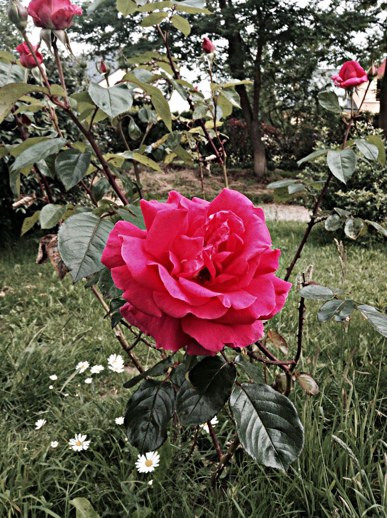 Le bonheur est fait de petites choses, le malheur de la négligence des petits bonheurs. Nature_collection Let's Take A Flower Favourit Rose Good Evening ❤️