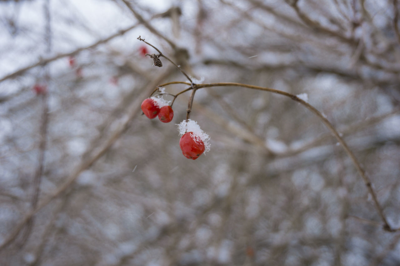 Wild berries in Winter Berries Branches Closeup Cold Colors Colourful Focus On Foreground Frozen Ice Iced Nature Outdoor Red Snowy Twig Twigs Wild Wild Berries Winter