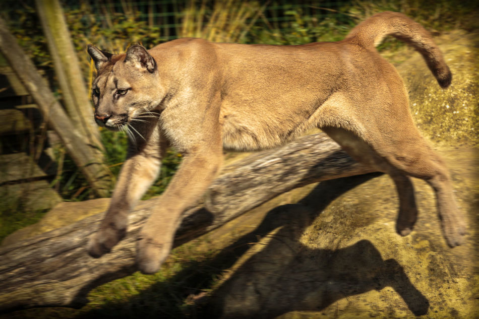 Beautiful stock photos of puma, Animal Themes, Animal Wildlife, Animals In The Wild, Blurred Motion