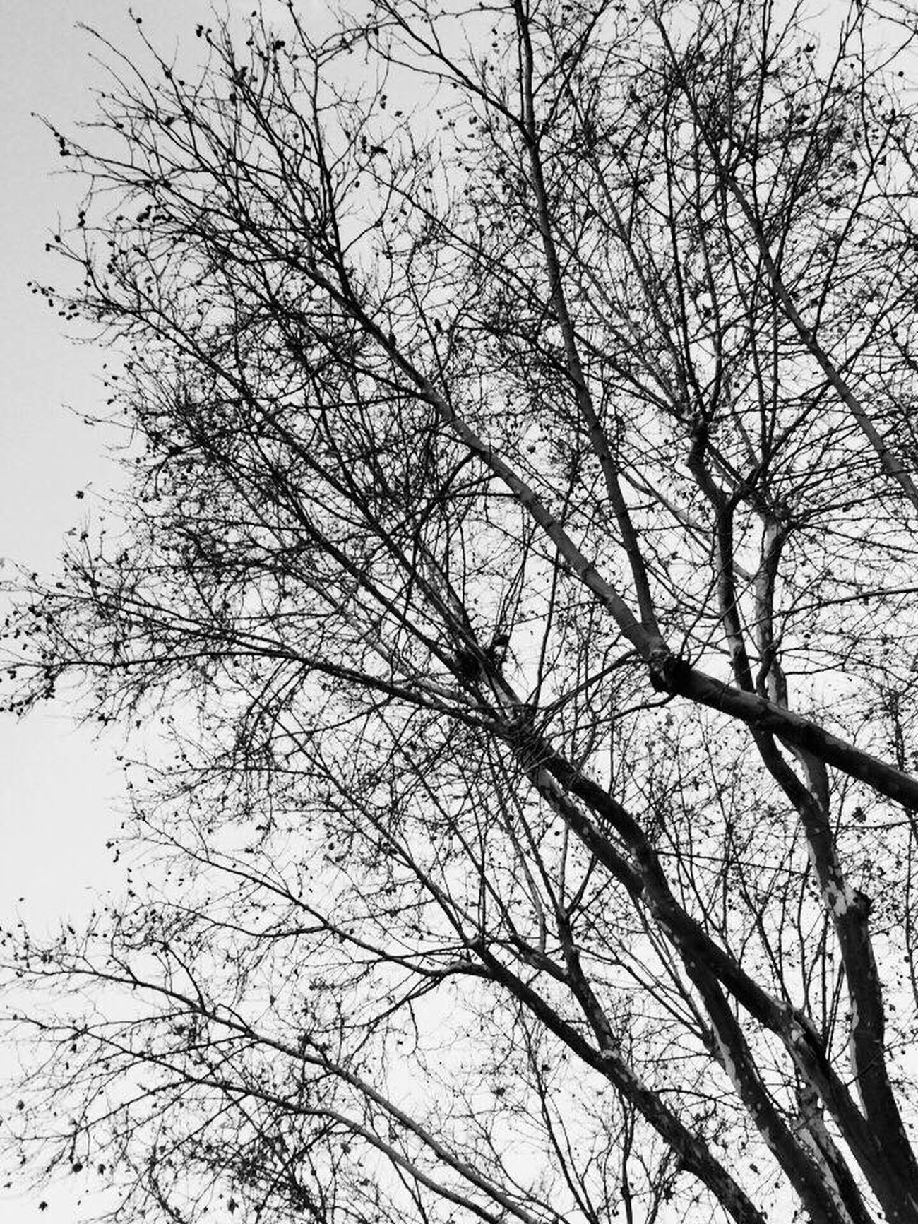🌳🌲 Nature Tree Beauty In Nature No People Outdoors Grunge Photowalk ArtWork Taking Photos Check This Out Popular Photos Monochrome Photography Nature Backgrounds Studio Shot Monochrome Photography Todays Hot Look Darkness And Light Blackandwhite OpenEdit Cityscapes Black And White Lights Getting Inspired