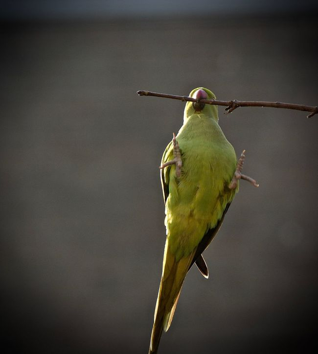 Circusisintown Eye4photography  Parakeet Showcase: December Animal Photography Bird Photography