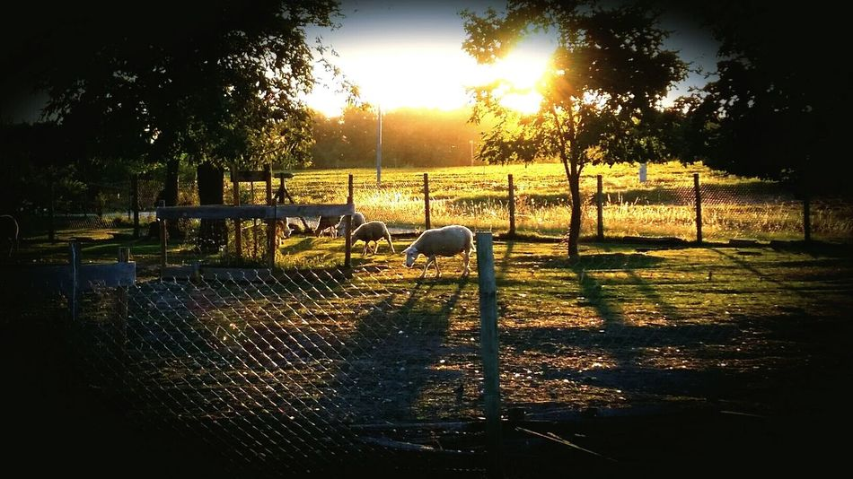 Rural Scene Sheeps Sunset_collection Animals In The Farm Villematier France Midi-Pyrenees