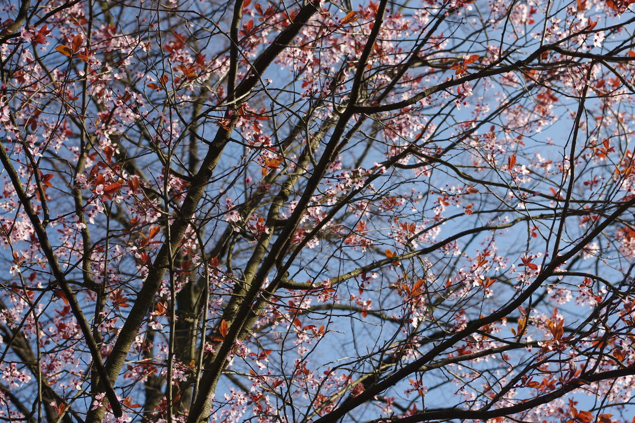 tree, branch, low angle view, beauty in nature, nature, flower, springtime, growth, no people, blossom, fragility, day, backgrounds, outdoors, freshness, sky, clear sky, close-up