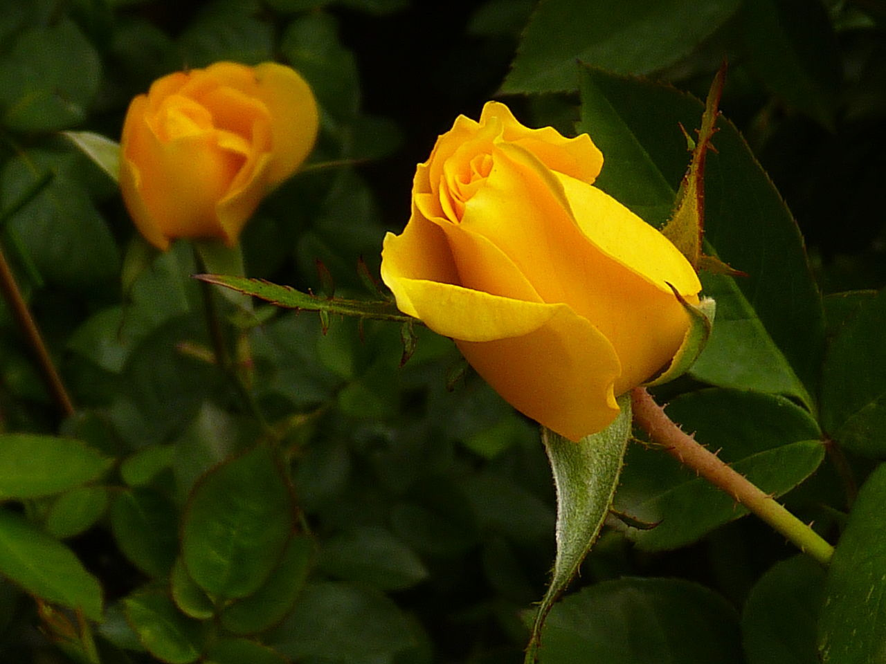 flower, petal, nature, growth, beauty in nature, fragility, plant, yellow, freshness, flower head, rose - flower, blooming, leaf, no people, close-up, outdoors, day