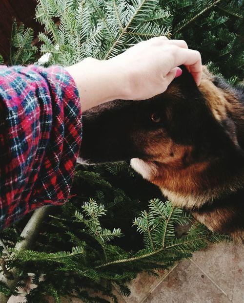 Chrismas Time Christmas Tree Christmas Morning Germanshepherd Germanshepherddog GSD Dog Human Hand One Animal Day