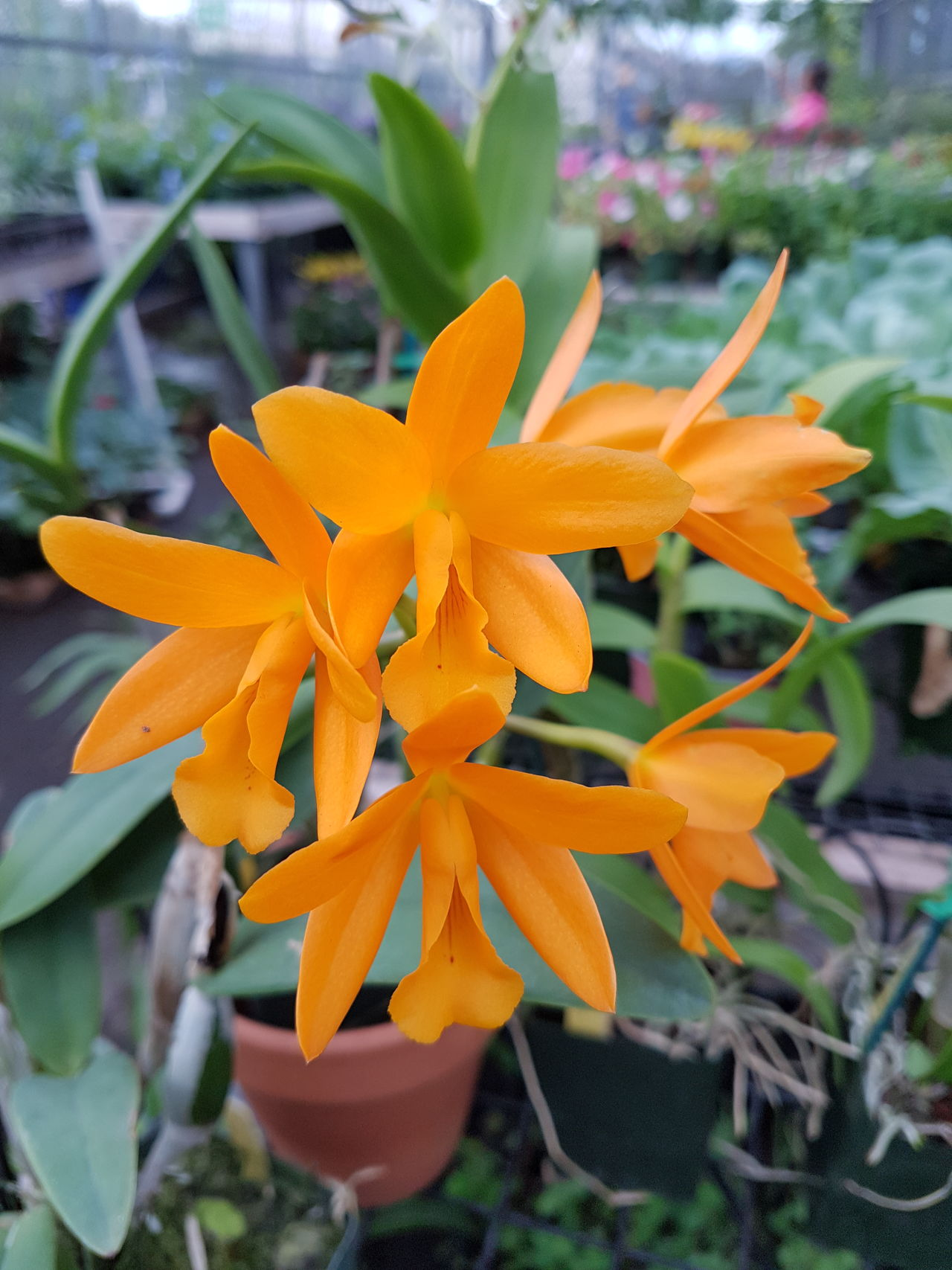 Flower Orchid Flower Orchid Blossoms Orange Color Nature Green Showcase July
