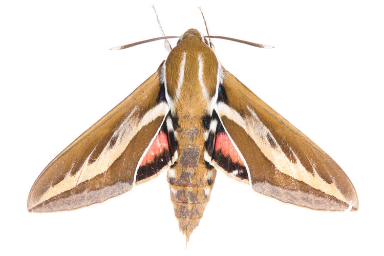Animal Photography Animals Butterfly Butterfly - Insect Close-up Insect Insect Photo Insect Photography Insects  Isolated Isolated On White Isolated White Background Lepidoptera Lepidopteran Insects Lepidópteros Macro Macro Photography Nature Nature No People Top View White Background