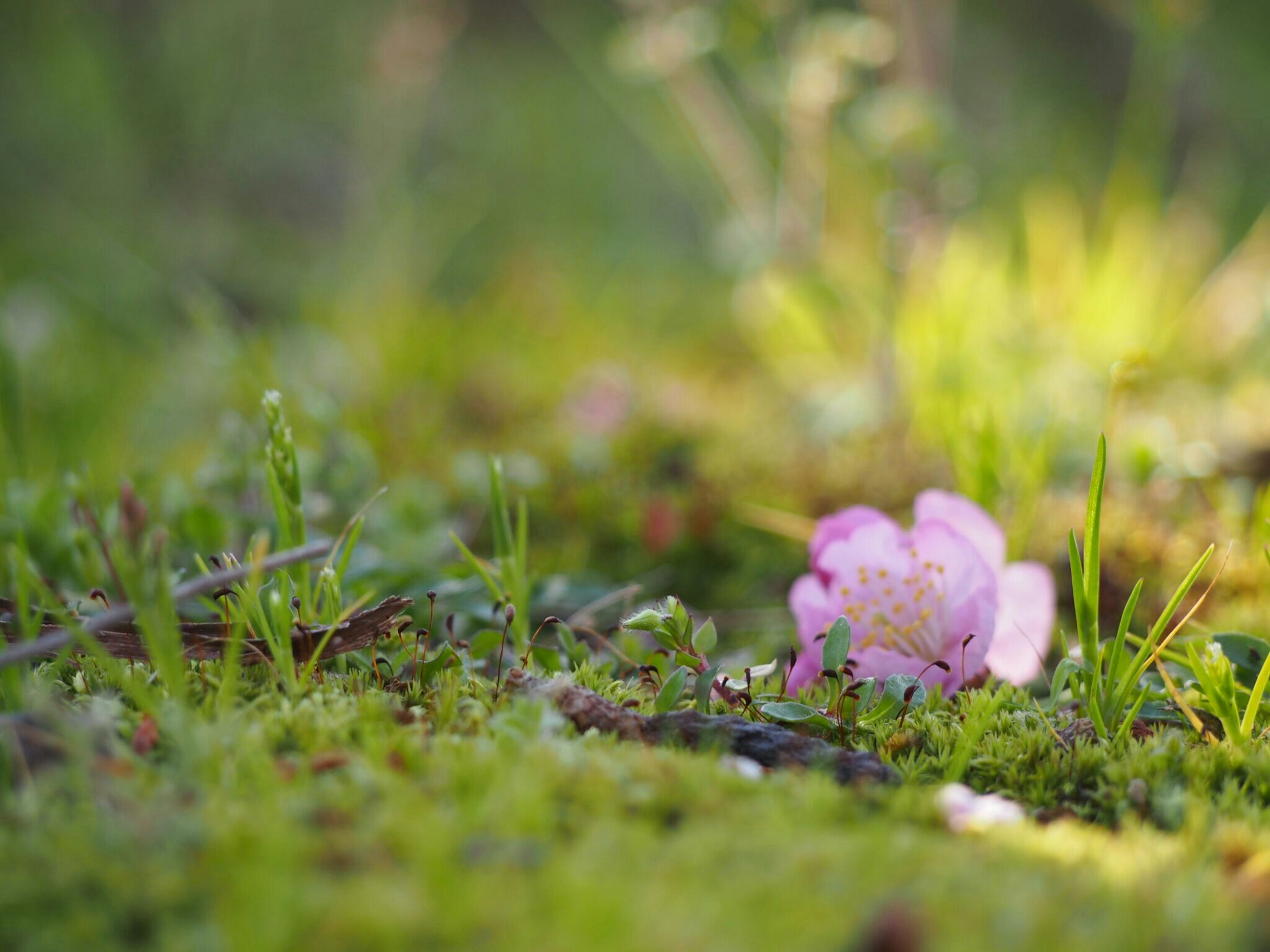 flower, growth, nature, beauty in nature, selective focus, freshness, fragility, grass, plant, petal, outdoors, no people, close-up, green color, day, blooming, flower head, crocus