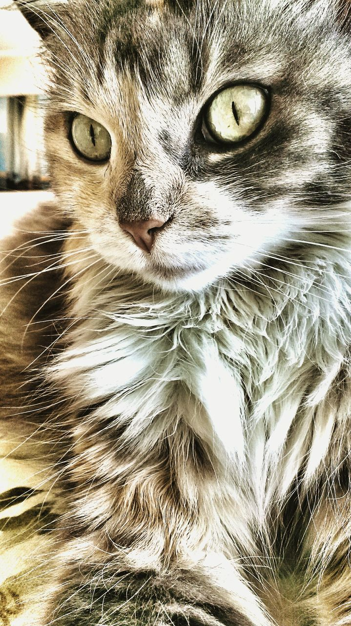 domestic cat, pets, domestic animals, feline, one animal, mammal, animal themes, cat, close-up, portrait, whisker, no people, looking at camera, indoors, day