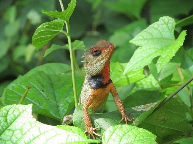 Reptiles Fauna Nature_collection Garden Lizard Nature Red Lizards