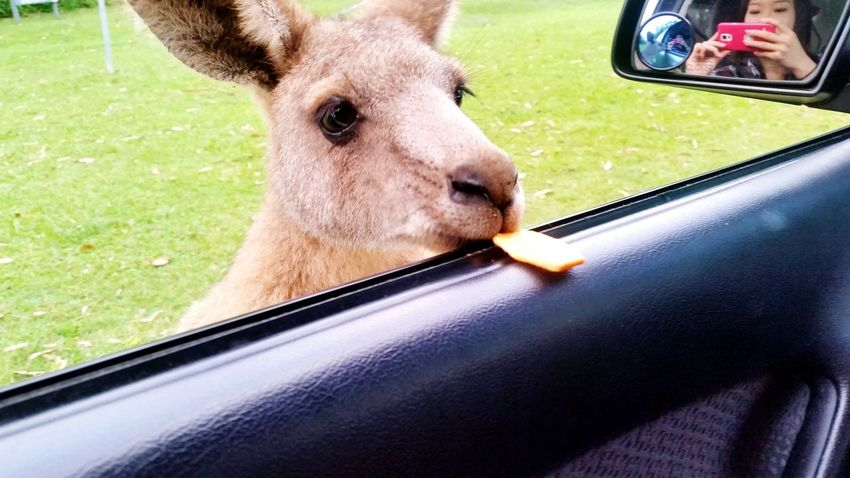 Feeding Kangroos Kangaroo Animal Photography Up Close & Personal Cute Australia