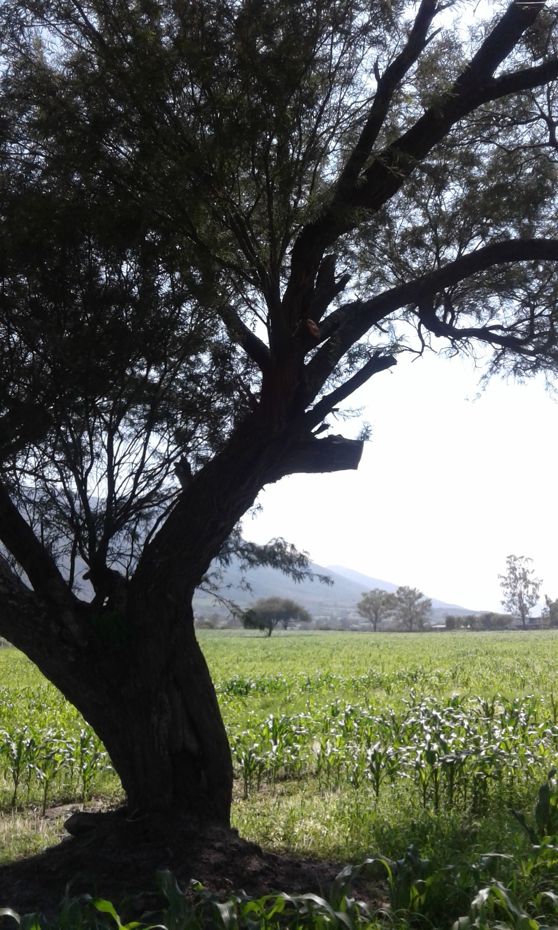 Tree Growth Field Rural Scene Agriculture Landscape Sky Grass No People Beauty In Nature Outdoors Nature Day Scenics Ixtlahuacan México. Mezquite Maize Maize Field Maizal