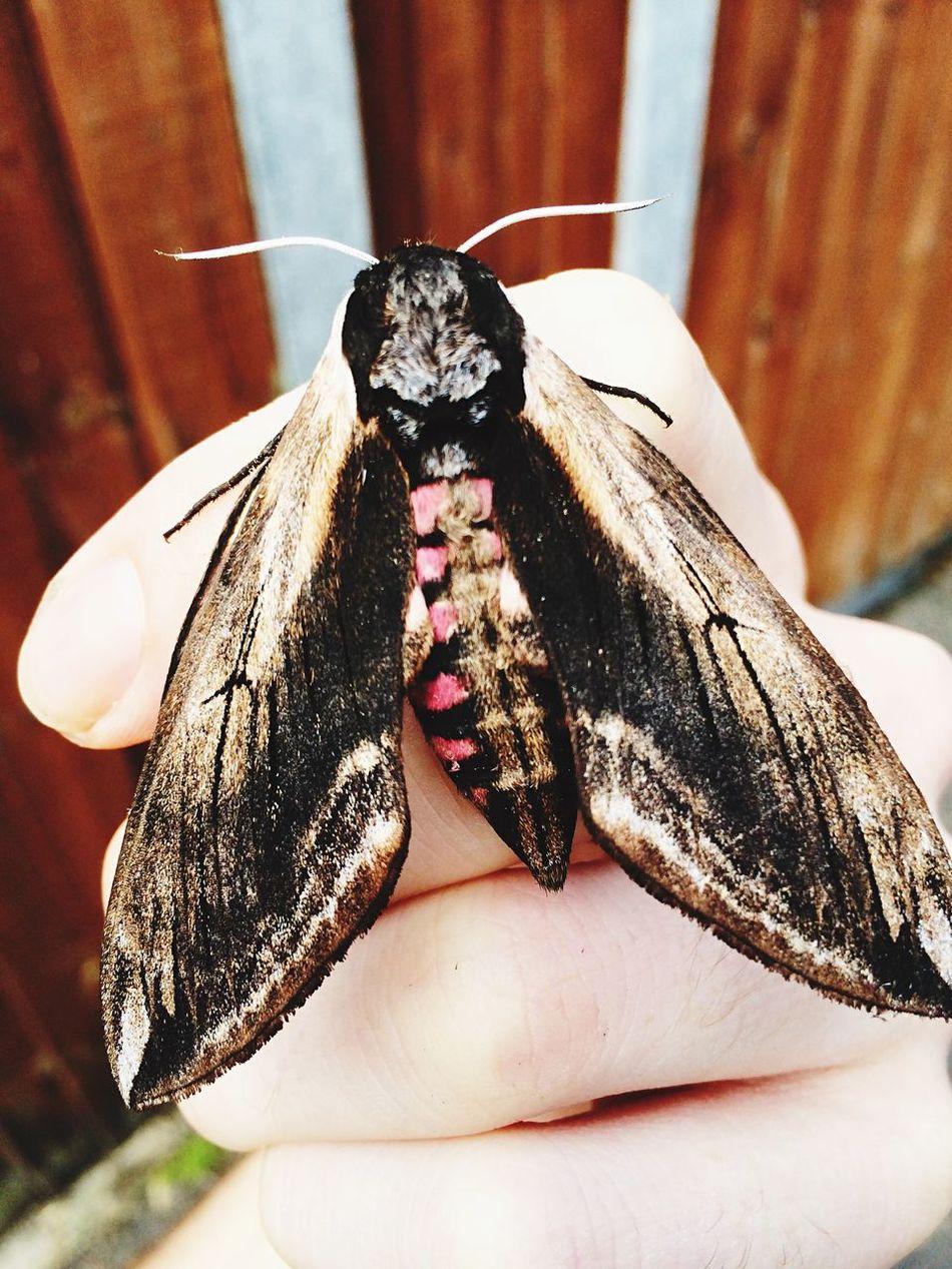 Massive pretty moth