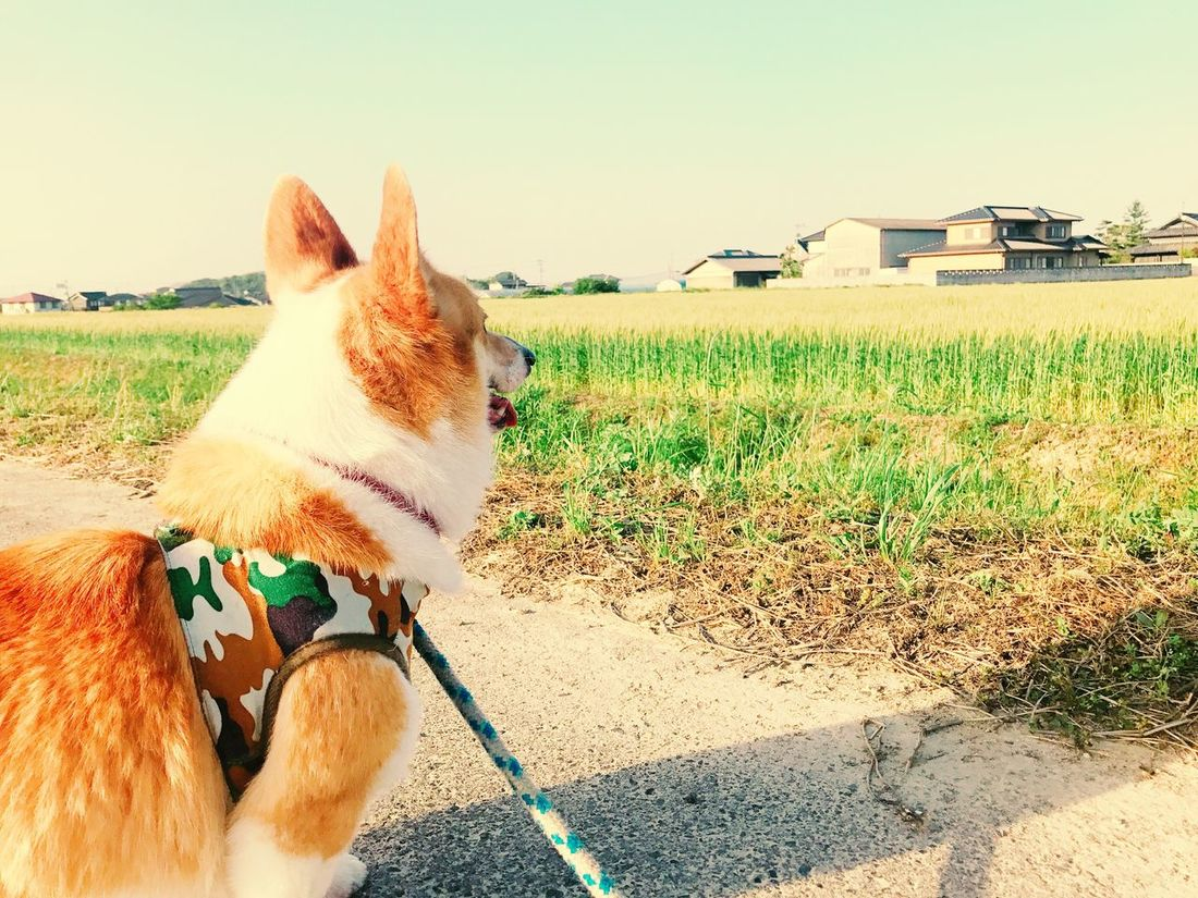 Japanese  Dog Pets First Eyeem Photo Eiko Corgi
