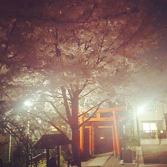 神楽坂 赤城神社 会社帰りの通り道 桜がいい感じ Cherryblossom さくらっていいね!