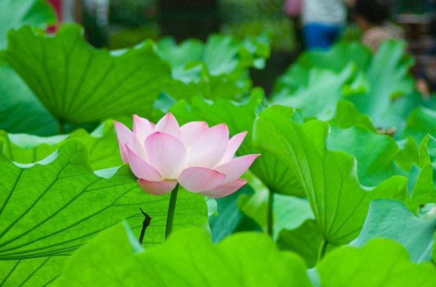 Lotus Water Lily Beauty In Nature Lotus Lotus Flower Nature Outdoors Lotus Flowers Close-up 3XSPUnity