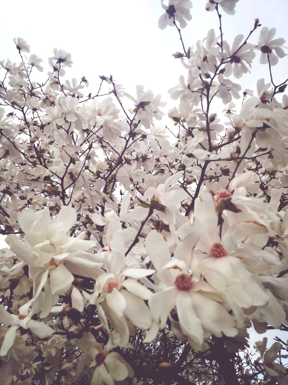 Low Angle View Of White Flowers Blooming Against Clear Sky