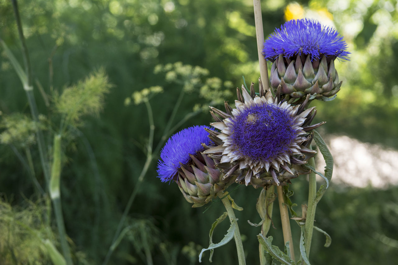 Close-Up Of Purple Thistle Blooming On Field