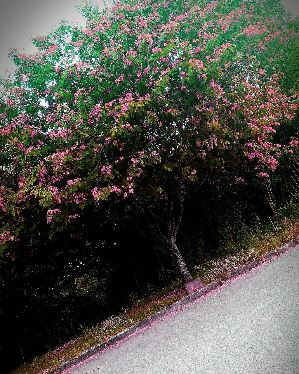 road, growth, pink color, purple, nature, no people, tree, flower, outdoors, day, beauty in nature