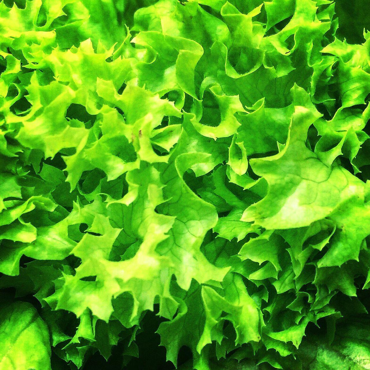 Vegetales Lechuga vegetal que combina con todos los demás todo un comodín