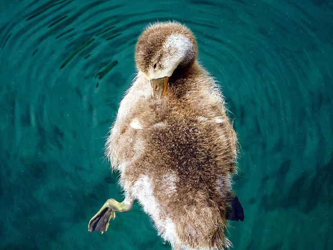 Animal Themes Beauty In Nature Cleaning Duckling One Animal Outdoors Rippled Water Swimming Tranquility Water Bird