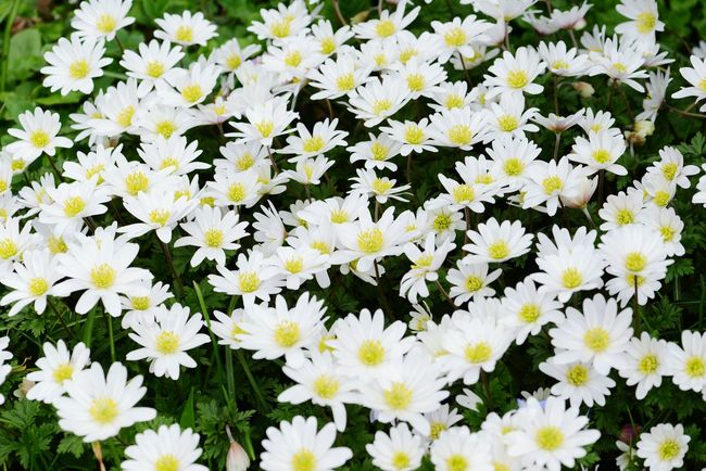 fullframe natural background of wood anemone. winderflower in springtime. Green Plant Background Natural Background Natural Texture Fullframe Background Wood Anemone Wood Anemones Windflower Windflowers Thimbleweed Smell Fox White White Flowers