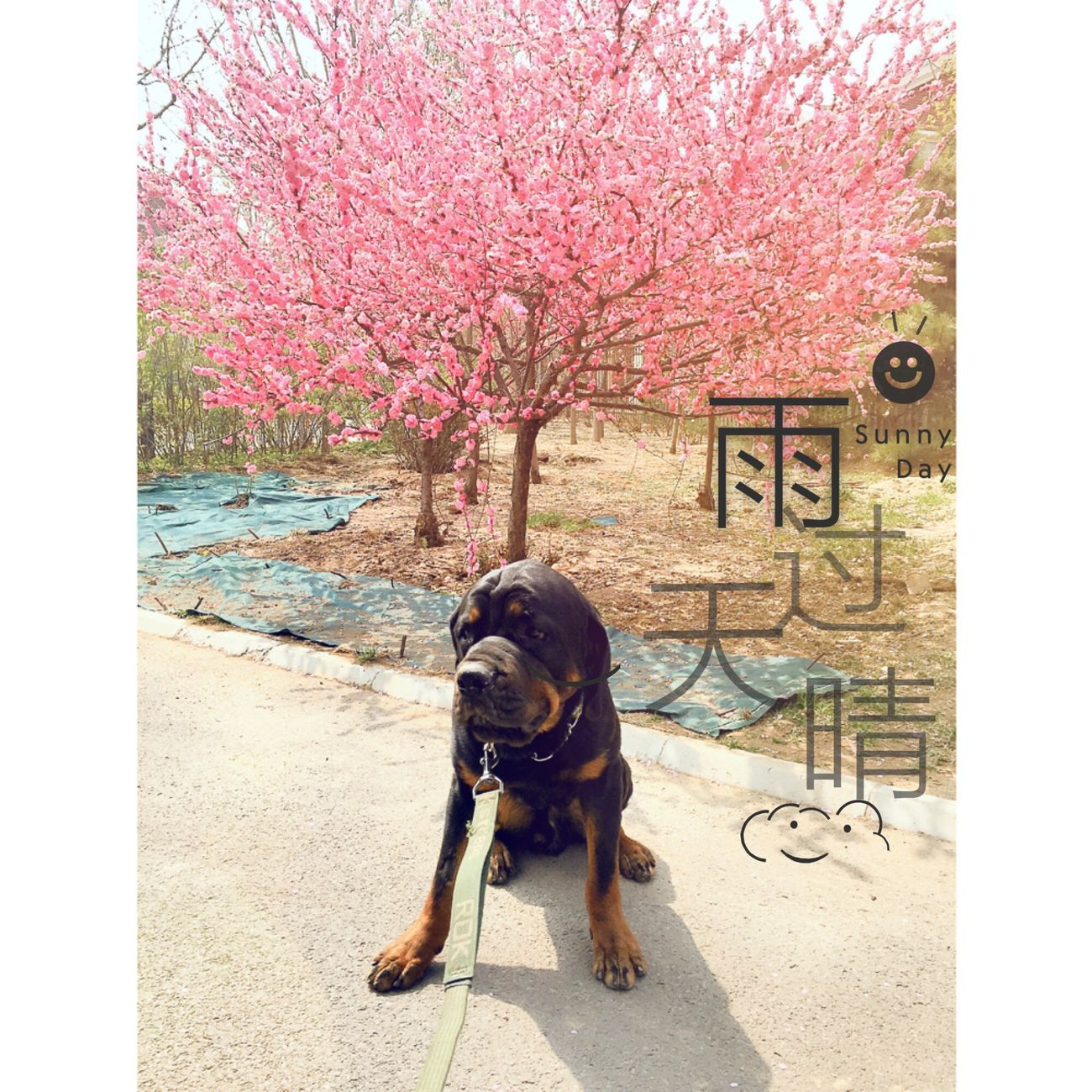 My Pet I Love My Dog { My Lovely RottWeiler }