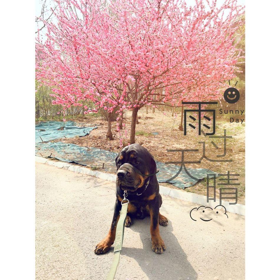 My Pet I Love My Dog { My Lovely RottWeiler }