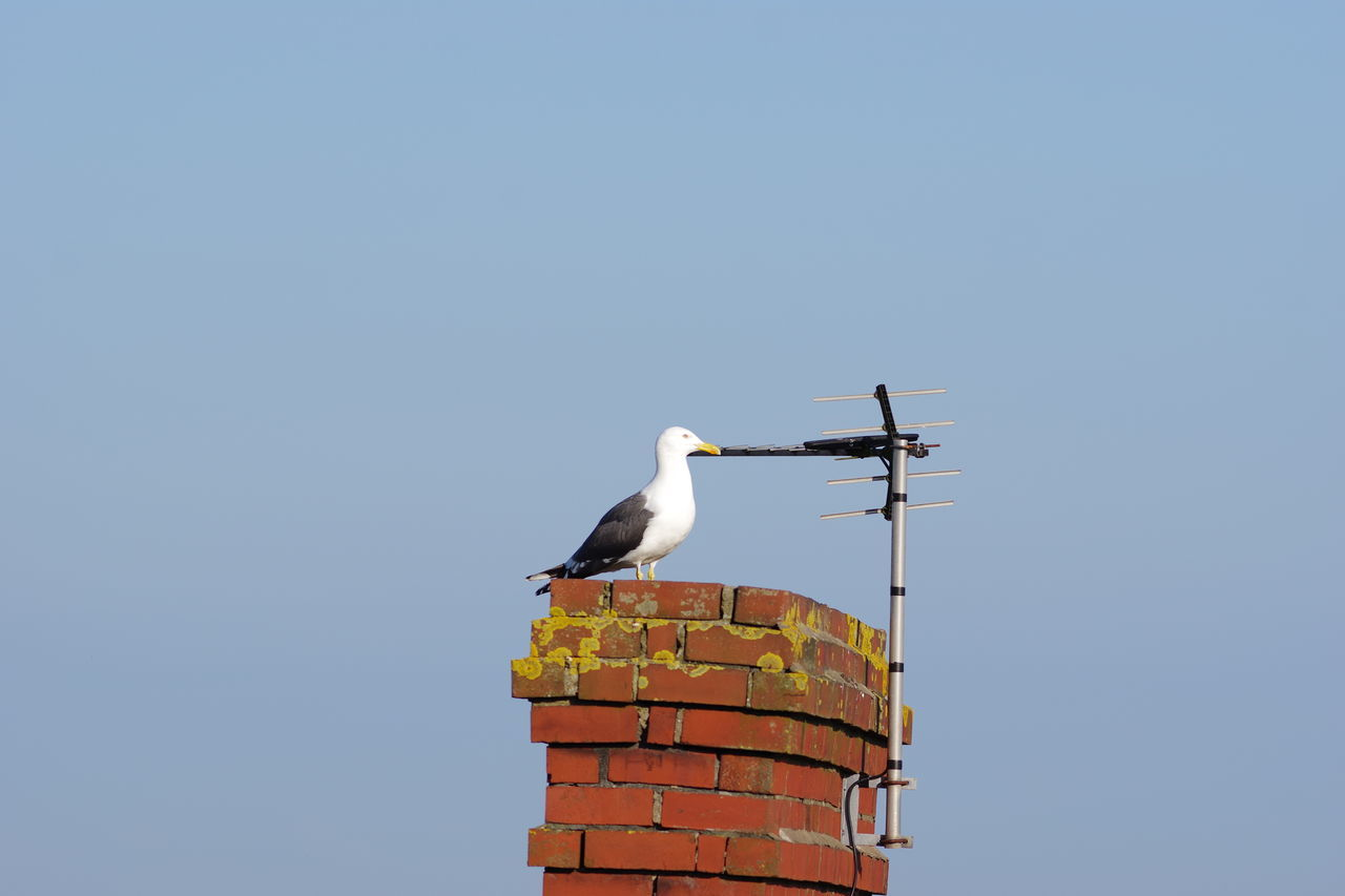 Clear Sky Bird Animal Wildlife Animals In The Wild Outdoors Sky Cymru-photography Wales Beauty In Nature Brick Wall Bricks Brick Seagull