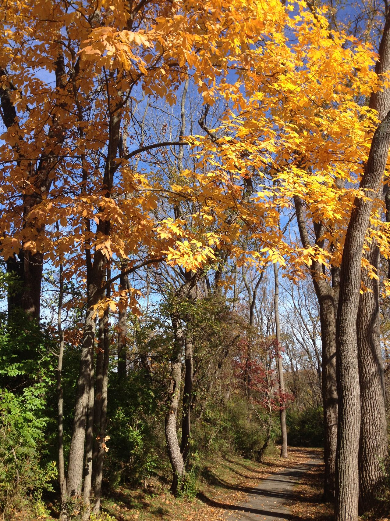 Autumn Beauty In Nature Branch Footpath No People Outdoors Scenics Season  The Week On EyeEm Tree Tree Trunk Treelined Walking Path Yellow Leaves