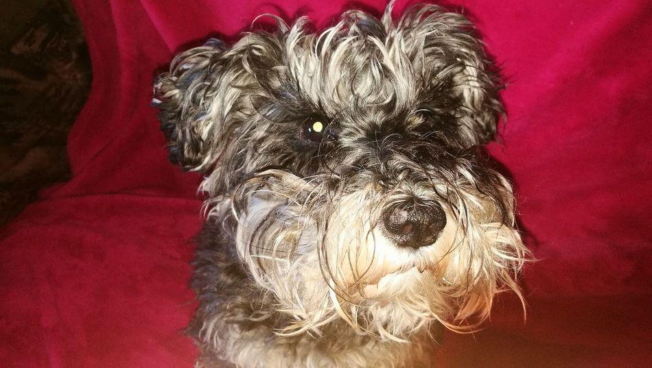 Perros❤ Perro Snauzer Dogs Of EyeEm Dog Dog Mini No People Pets One Animal Animal Themes Day