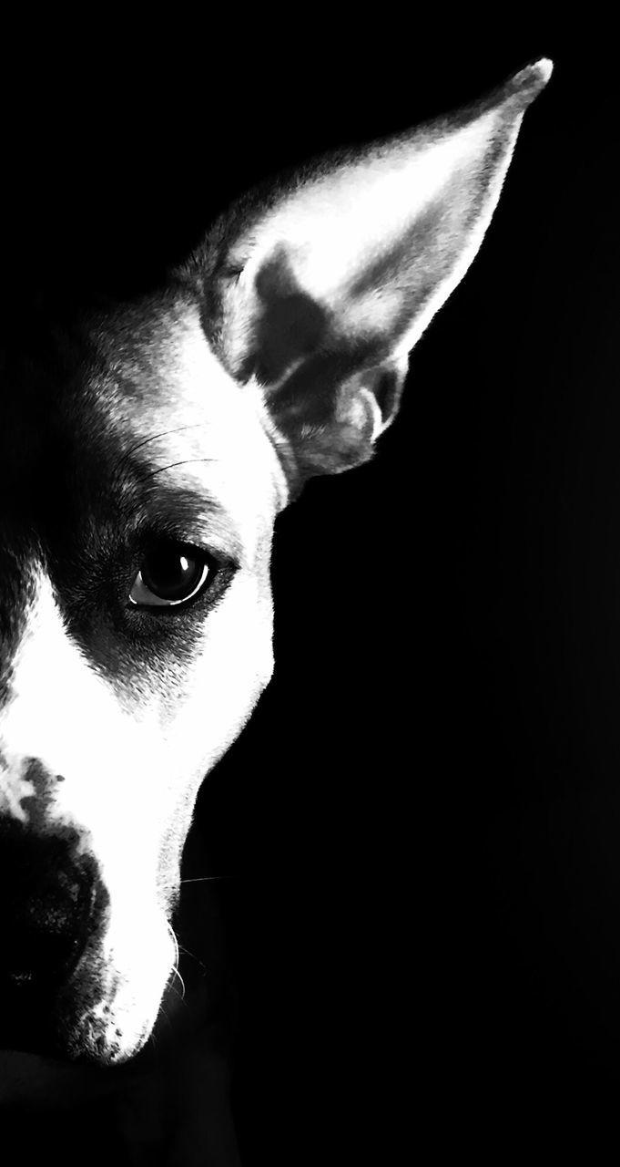 dog, pets, domestic animals, one animal, mammal, animal themes, animal head, portrait, looking at camera, black background, studio shot, close-up, no people, indoors, beagle, day