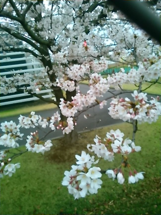 Japanese Spring Blossom Cherry Tree Flower Beautiful View Cherry Tree Cherry Blossoms Cherry Blossom Leaf Beautiful Day